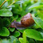 nuisible potager - escargot