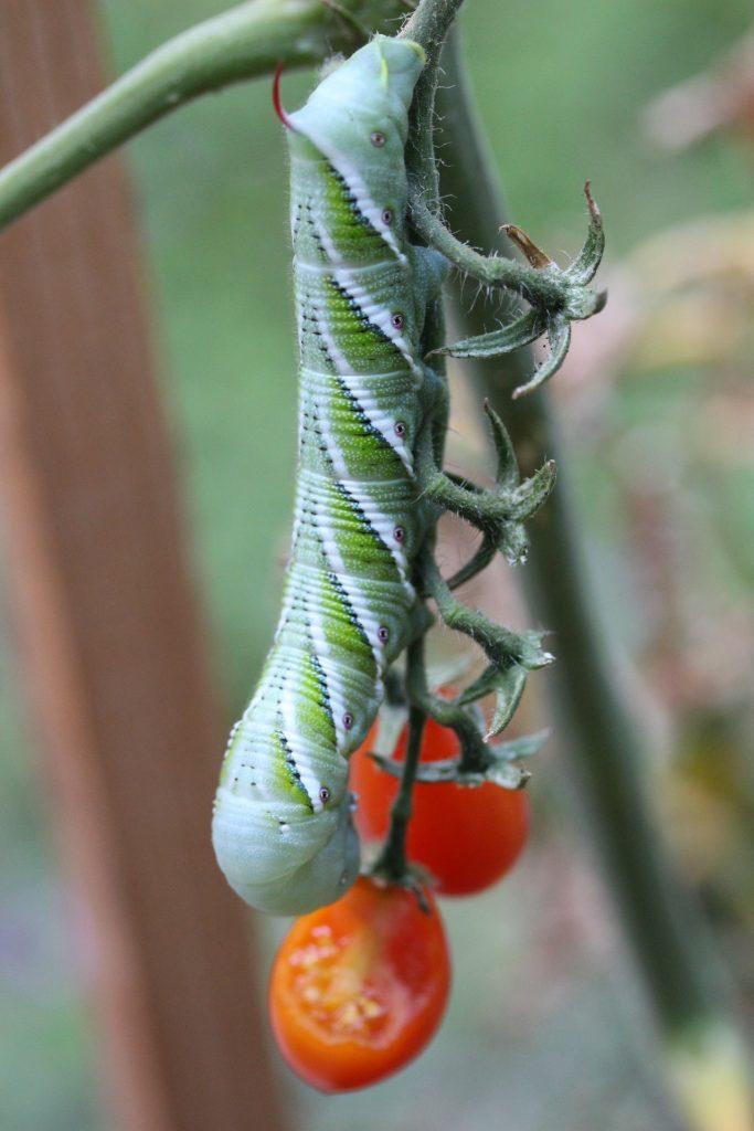 larve sur un plant de tomate