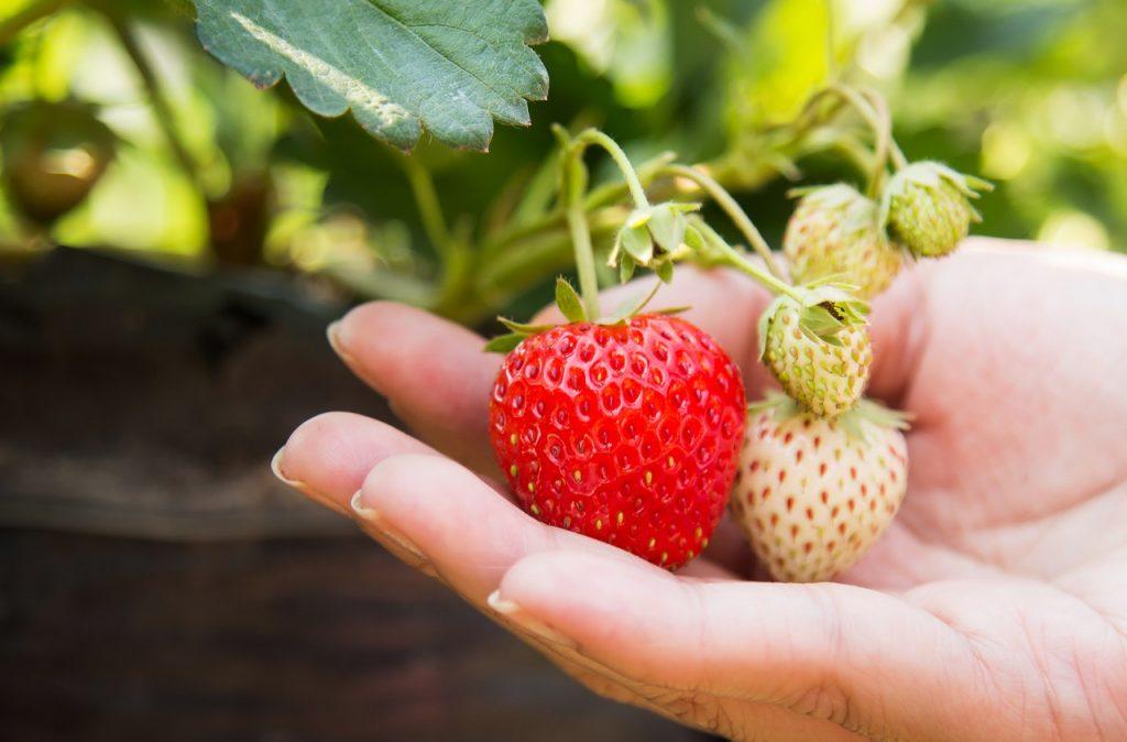 récolte des fraises